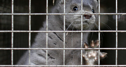 California animal activists arrested after releasing 5,740 mink